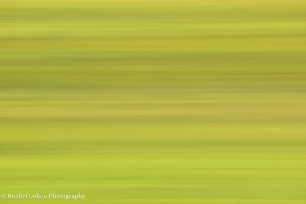 """""""Autumn in Free-Fall"""" 2<br /> <br /> The edge of autumn, just as the green begins to turn to yellow!<br /> Beautiful horizontal streams of varying shades of green and yellow are in a sideways free-fall!!<br /> <br /> Nature Abstracts by Rachel Cohen"""