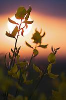 Spanish broom (Spartium junceum) at sunrise, San Marino.