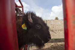 March 23, 2019 - Rush Valley, Utah, USA - A bison's head is trapped in a chute during a spring round up at the Onaqui Bison Ranch. About 30 bison were given vaccines, de-wormed, weighed and tagged. The ranch offers hunters the chance to hunt the bison with guns or with bow and arrow. The cost is about $12.50 per pound with the average two year old bison weighing. between 1,000-2,000 pounds. (Credit Image: © Natalie Behring/ZUMA Wire)
