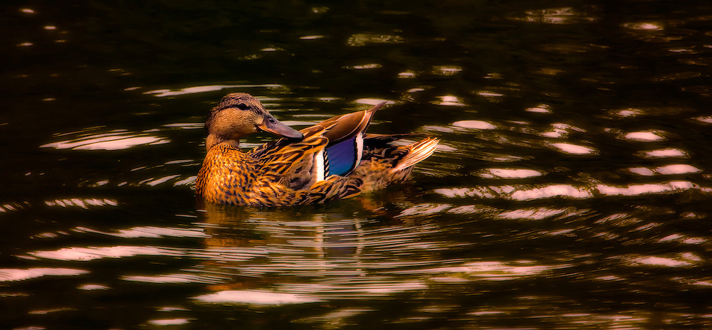 Females and juveniles are mottled brown with orange-and-brown bills. Both sexes have a white-bordered, blue 'speculum' patch in the wing. Large dabbling duck Streaked brown and tan overall Dark blue patch on wing Dull orange and black bill