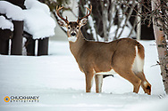 Whitetail buck in winter in Glacier National Park, Montana, USA