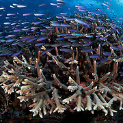 Millions of fusilier damselfish (Lepidozygus tapeinosoma) swarming over a pristine coral reef called Carl's Ultimate, located in the Eastern Fields of Papua New Guinea