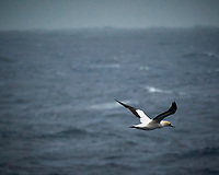Cape Gannet viewed from the deck of the MV World Odyssey. Image taken with a Nikon N1V3 camera and 70-300 mm VR lens