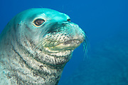 male Hawaiian monk seal, Neomonachus schauinslandi ( critically endangered endemic species ), at Lehua Ledges dive site, Lehua Rock, near Niihau, off Kauai, Hawaii ( Pacific Ocean )