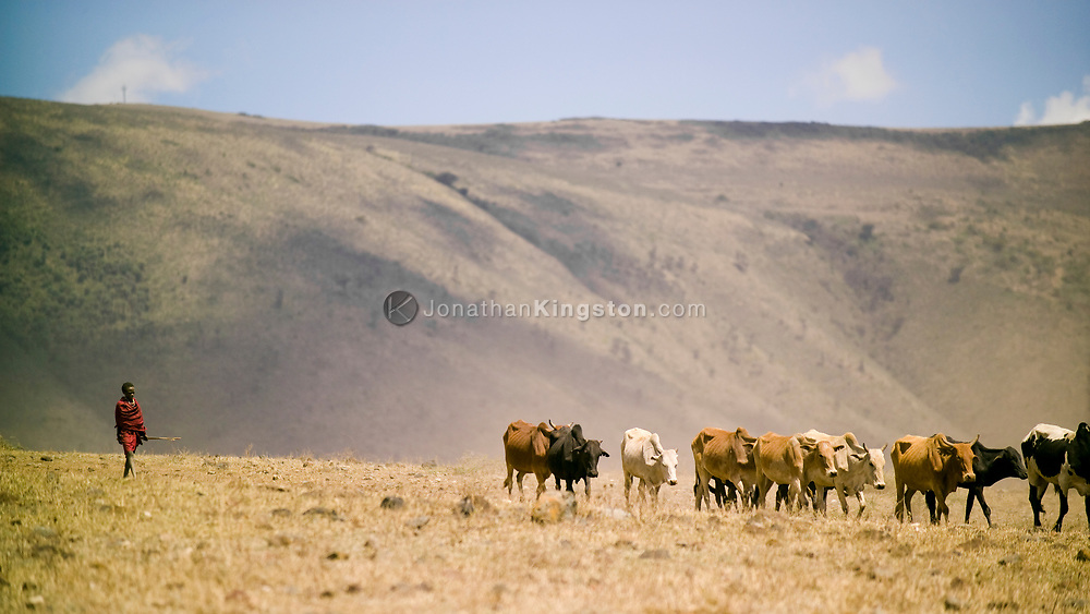 A Maasai tribesman herds cattle thru the Ngorongoro Crater, near Arusha, Tanzania. The Maasai are an indigenous group of semi-nomadic people located in Kenya and northern Tanzania.  They are among the most well-known of African ethnic groups internationally due to their distinctive customs, dress and residence near the many game parks in East Africa.