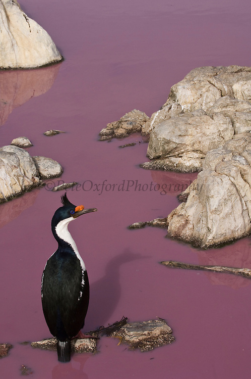 Imperial Cormorant or King Shag or King Cormorant (Phalacrocorax atriceps albiventer)<br /> Nesting on a Pink Pond. Steeple Jason Island. FALKLAND ISLANDS.<br /> RANGE: Coasts of South America, Subantarctic Islands, Antarctic Peninsula<br /> They usually breed in closely packed colonies often associated with Rockhopper Penguins and Black-browed Albatross on flat cliff top sites. The nest is a column of mud, tussock grass and algae. 2 - 4 eggs are layed. They feed offshore, often in flocks pursuing feed, usually small schooling fish.<br /> <br /> The Jasons (Grand and Steeple) are a chain of islands 40 miles (64km) north and west off West Falkland towards Patagonia. Steeple is 6 by 1 mile (10Km by 1.6km) in size. From the coast the land rises steeply to a rocky ridge running along the length. <br /> This island has the largest Black-browed Albatross colony in the world with 113,000. The island is owned by WCS (Wildlife Conservation Society)