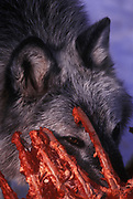 Image of a wild gray wolf (Canis lupus) eating its prey near Kalispell, Montana, Pacific Northwest  by Randy Wells