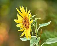 Sunflower. Image taken with a Leica CL camera and Sigma 100-400 mm lens