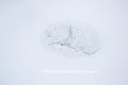 01863-01612 Arctic Fox (Alopex lagopus) curled up in winter Churchil Wildlife Management Area Churchill, MB