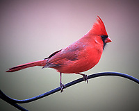 Male Northern Cardinal. Image taken with a Nikon D5 camera and 600 mm f/4 VR telephoto lens (ISO 1600, 600 mm, f/4, 1/125 sec).