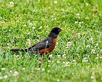 American Robin. Image taken with a Nikon D2xs camera and 300 mm f/2.8 VR lens