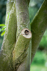 Example showing an ingress of rot after a magnolia has been pruned.