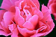 Double late tulip 'Sunset Tropical' Keukenhof Spring Tulip Gardens, Lisse, The Netherlands.