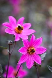 Bee on Dahlia 'Magenta star'