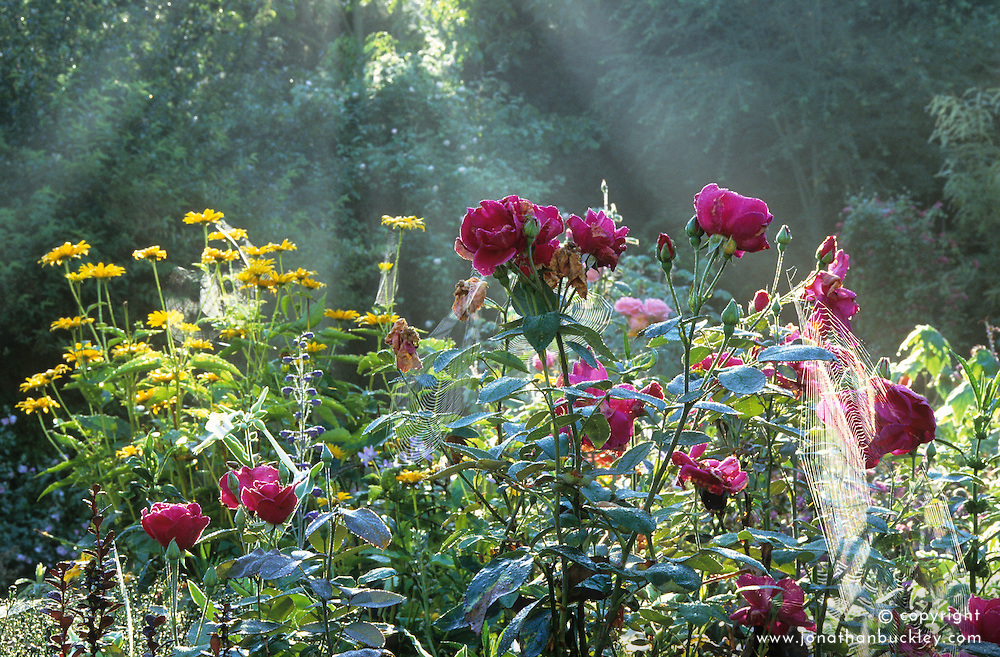 Fading roses in a misty autumn border at Upper Mill Cottage