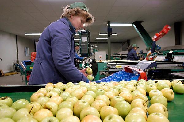 Hongarije, Zalaszanto, 30-4-2004Hongaarse arbeidskrachten sorteren appels uit de grote appelboomgaard opgezet door een ondernemer uit Nederland. Economie, Landbouw, Fruitproductie, goedkoop produceren, eu, e.u., Europese unie, fruitteelt, grondprijs, lonen, loonkosten, werknemersFoto: Flip Franssen/Hollandse Hoogte