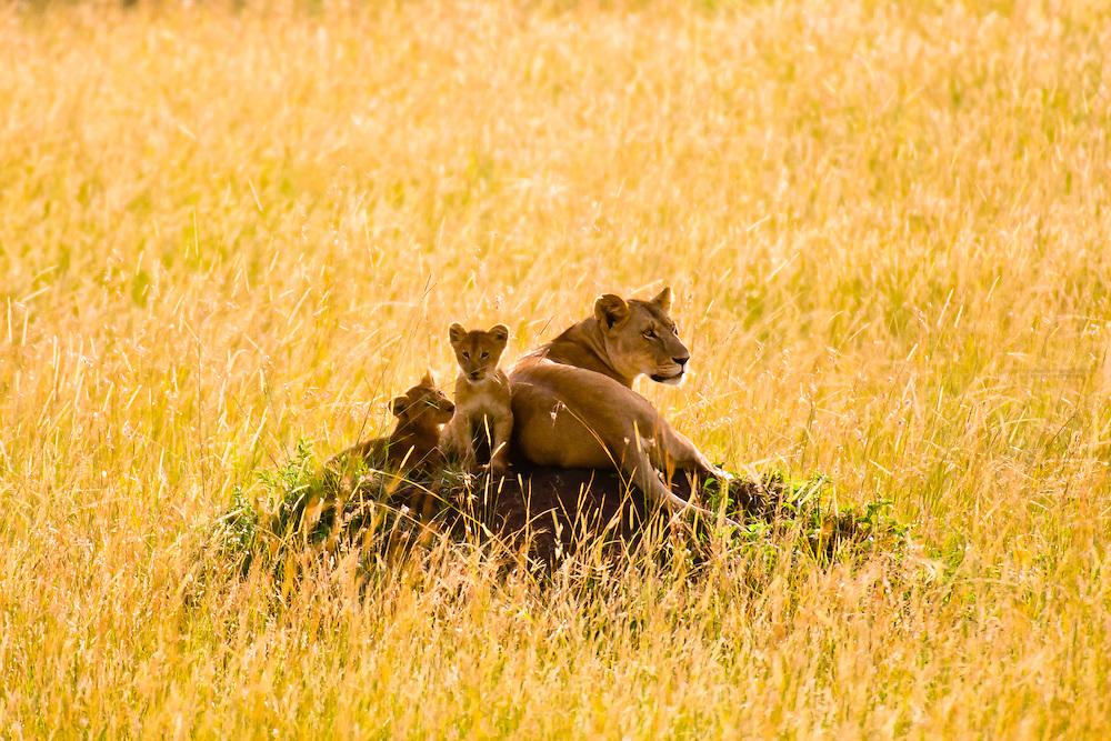 A mother lion and her cubs atop a mound, Masai Mara National Reserve, Kenya
