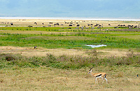 Thomson's Gazelle, Eudorcas thomsonii, stands near a mixed herd of Grant's Zebra, Equus quagga boehmi, Wildebeest, Connochaetes taurinus, and Cape Buffalo, Syncerus caffer caffer, in Ngorongoro Crater, Ngorongoro Conservation Area, Tanzania. Also in the photo are a Saddle-billed Stork, Ephippiorhynchus senegalensis, two Gray Crowned Cranes, Balearica regulorum, and a Superb Starling, Lamprotornis superbus.