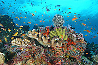 The marine biodiversity of Papua New Guinea is well illustrated in this image, with almost all colors of the palette represented by the variety of corals, fish, sponges, crinoids, and other invertebrates.