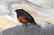 White-capped Water Redstart - Chaimarrornis leucocephalus A colourful bird from souteast Asia, always associated with the margins of fast-flowing upland rivers, strewn with boulders.