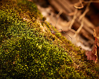 Daddy Longlegs (actually Harvestmen) on a Moss Covered Log at the Recently Opened Rock Mill Preserve in Montgomery Township New Jersey. Autumn Nature in New Jersey. Image taken with a Nikon 1 V2 camera and 32 mm f/1.2 lens (ISO 160, 32 mm, f/2.5, 1/400 sec)