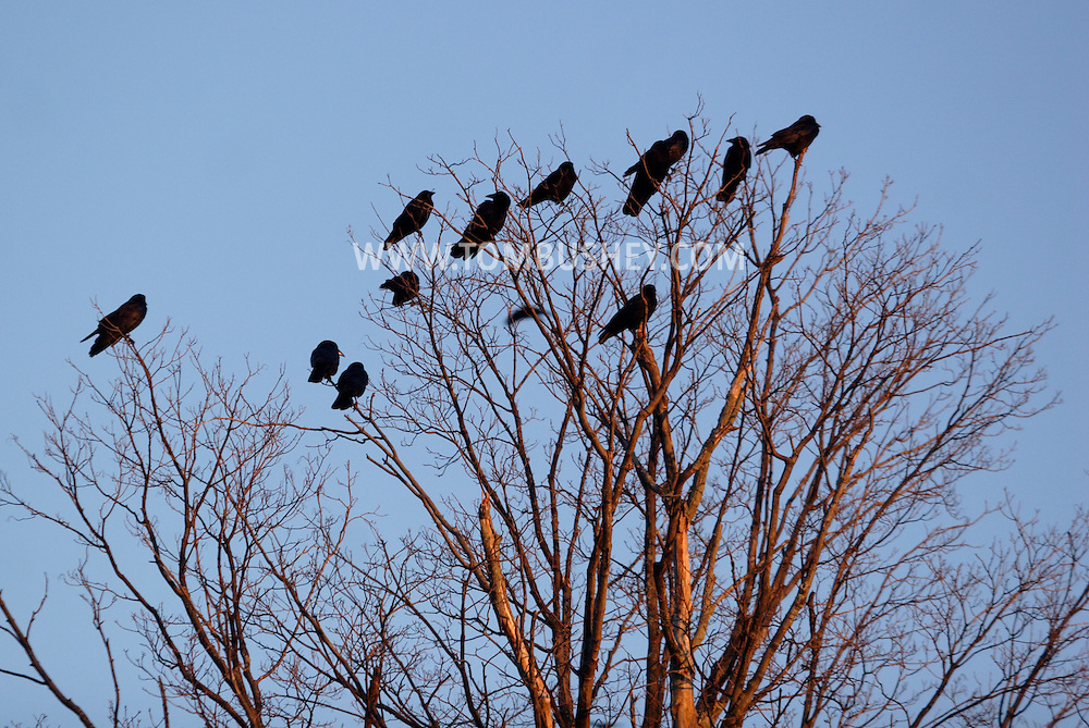 Middletown, NY -  Crows gather in bare tree branches before flyiing off to their roosting site on  Nov. 25, 2007.