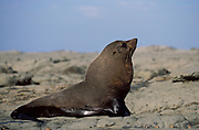 New Zealand Fur Seal, Arctocephalus foresteri, male, Kaikoura, New Zealand, on beach coastline