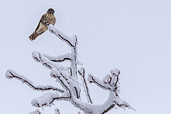 American Kestrel Adult Female (Falco sparverius)