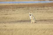 Coyote hunting in grassland habitat.