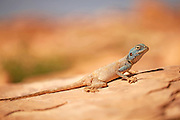 Sinai agama (Pseudotrapelus sinaitus, formerly Agama sinaita) basking on a rock. Photographed in Jordan in April