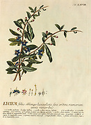 Coloured Copperplate engraving of a Lycium (goji berries) from hortus nitidissimus by Christoph Jakob Trew (Nuremberg 1750-1792)