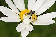 Crab Spider - Misumena vatia