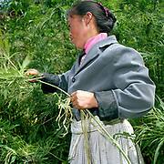 """Wearing a traditional hemp skirt, a Big Flowery Miao ethnic minority woman harvests hemp, Qie Chong village, Guizhou Province, China. Although hemp production is decreasing because land is needed for cash crops and manufactured cotton is readily available, it is still grown, spliced and women in remote mountain villages in Guizhou Province. Almost 35% of Guizhou's population is made up of over 18 different ethnic minorities including the Miao. Each Miao group became isolated in these mountainous regions, hence the present day diversity in their culture, costume and dialects. According to a popular saying, """"if you meet 100 Miaos, you will see 100 costumes."""""""