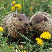 WoodChuck or Groundhog (Marmota monax) Pair feeding on dandelions. Montana.Spring.  Captive Animal.