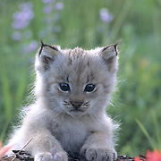 Canada Lynx, (Lynx canadensis) Kitten in spring flowers. Montana.  Captive Animal.