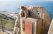 Barbary macaque apes, Macaca sylvanus, Gibraltar, British terroritory in southern Europe