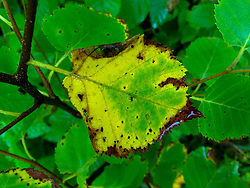 Leaf Detail, Witherle Woods, Castine, Maine, US