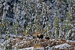 Black Bear sow and cubs, Autumn, new snow, Glacier Natinal Park
