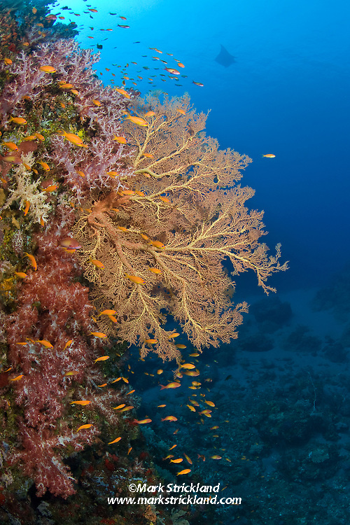 Anthias and other small reef fish gather above thriving Gorgonian and Dendronepthya soft coral colonies as a Giant Manta, Manta birostris, passes in the distance. Narcondam Island, Andaman Islands, India, Andaman Sea