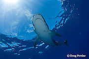 tiger shark, Galeocerdo cuvier, North Shore, Oahu, Hawaii, USA ( Central Pacific Ocean ), parasitic leech clings to right side of shark's head
