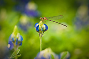 New bluebonnet bloom and dragonfly, Terry Hershey Park, Houston, Texas