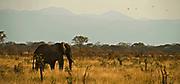 Lonely elephant in Tarangire NP, Tanzania.