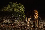 Ein männlicher Löwe (Panthera leo) im Schutzgebiet Sabi Sands bei Nacht, Südafrika<br /> <br /> A male Lion (Panthera leo) in the private game reserve Sabi Sands at night, South Africa