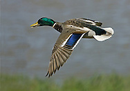 Mallard Anas platyrhynchos L 50-65cm. Our most familiar duck. In flight, both sexes show white-bordered blue speculum. Sexes are dissimilar. Adult male has yellow bill and green, shiny head and upper neck, separated from chestnut breast by striking white collar. Underparts are grey-brown except for black stern and white tail. Back is grey-brown grading to reddish brown. Legs and feet are orange. In eclipse, male resembles adult female but note yellow bill and well-defined reddish brown breast. Adult female has orange-brown bill and mottled brown plumage. Legs and feet are dull orange-yellow. Juvenile is similar to adult female. Voice Male utters whistles and nasal calls. Female utters familiar quack. Status Widespread, commonest on lowland lakes, rivers and urban ornamental lakes.