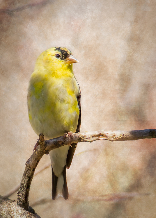 The first goldfinch in the yard this season