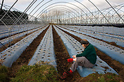 A lone female stops to inspect blisters while on a farmer's land where winter polytunnels are empty of crops. During a winter jaunt through fields in the Kent countryside, the woman has stopped on a farmer's property where the polytunnels have been erected to grow summer fruits such as strawberries that draw upon the nutritious soils and minerals from the grow-bags on the ground. The arched rooftop shelters the crops from lower temperatures ensuring rapid growth, tended by migrant workforces.