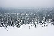 Forest in Valley | Saariselkä, Finland