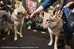 """Czechoslovakian wolves made it through on the """"dogs OK"""" policy at Motor Bike Expo. Verona, Italy. Saturday January 20, 2018. Photography ©2018 Michael Lichter."""