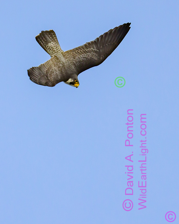 Peregrine falcon in diving flight, fast wing beats used early in the dive to build speed, © David A. Ponton