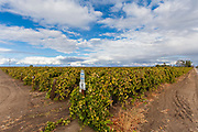Grapes growing in Shafter. Kern County, San Joaquin Valley, California, USA